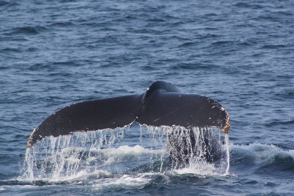 Biodiversità marina alla riscossa: scoperta una nuova specie di balena