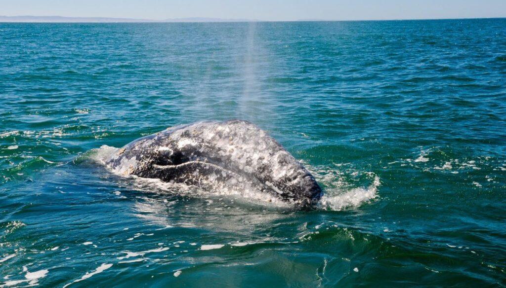 Il misterioso viaggio della balena grigia: nel Mediterraneo dall'Atlantico?