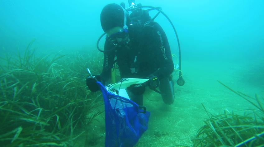 Posidonia oceanica: un documentario ISPRA fa il punto su 20 anni di trapianti